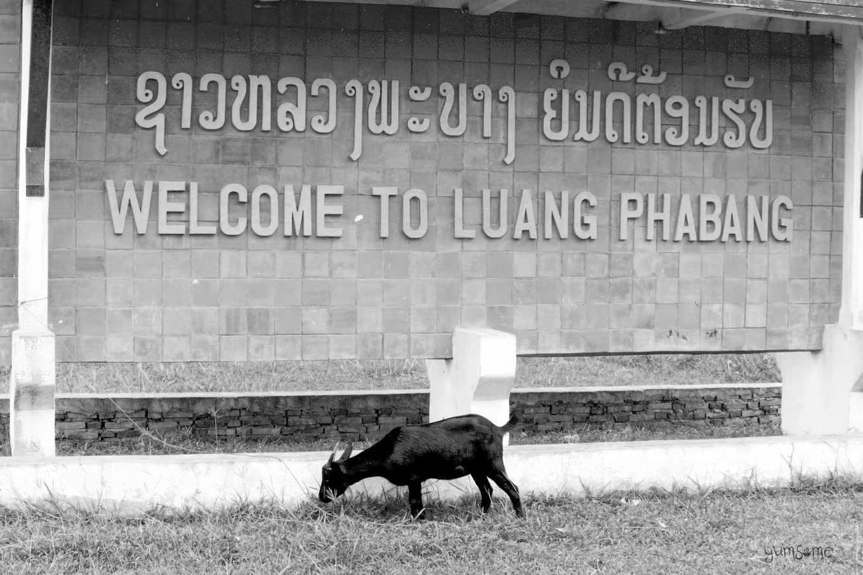 Luang Prabang airport goat | yumsome.com