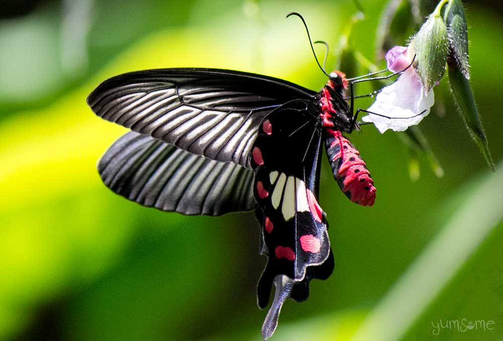 A red and black Thai butterfly collecting nectar from a flower.