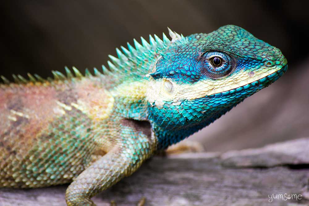 Blue-crested dragon.