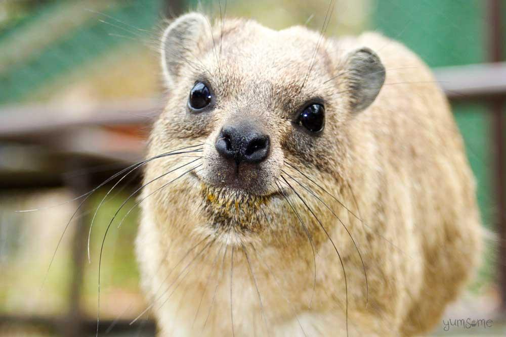 A cute rock hyrax!