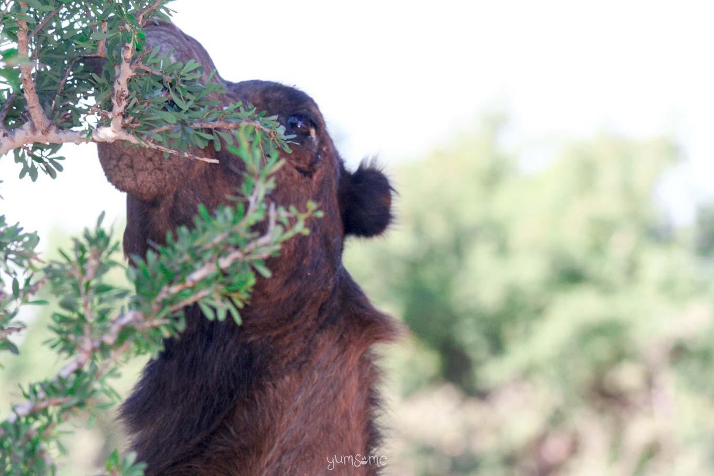 Camel eating argan leaves near Taroudannt, Morocco | yumsome.com