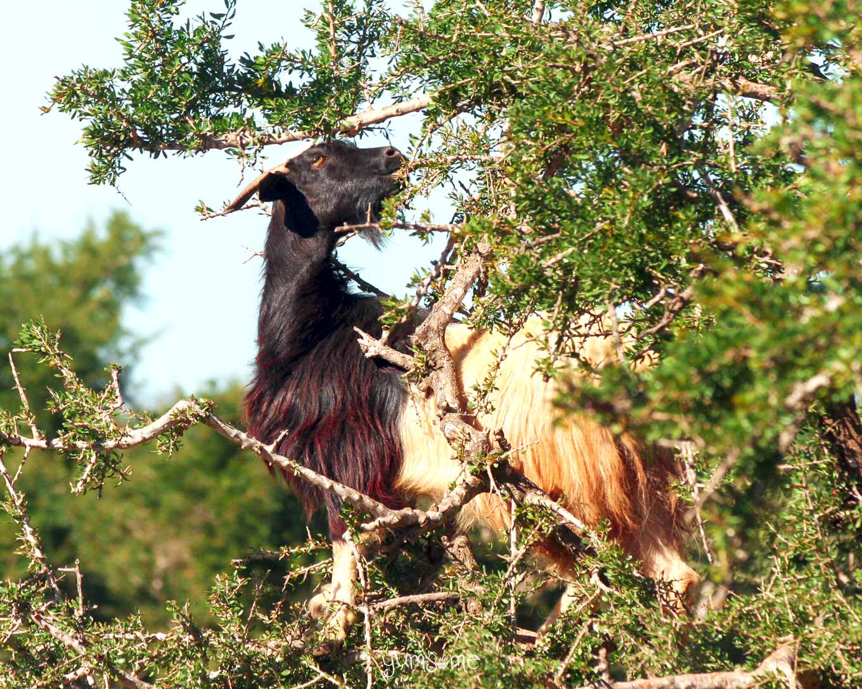 Goat in an argan tree near Taroudannt, Morocco | yumsome.com