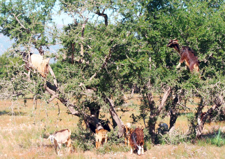 Goats in argan trees near Taroudannt, Morocco | yumsome.com