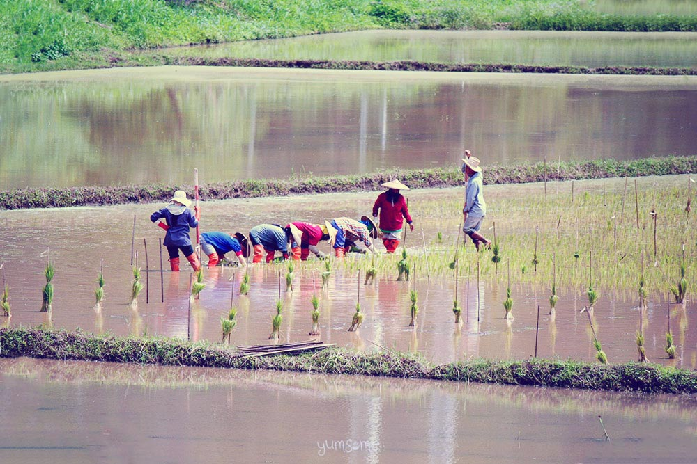 Planting rice in Mae Hong Song, Northern Thailand | yumsome.com