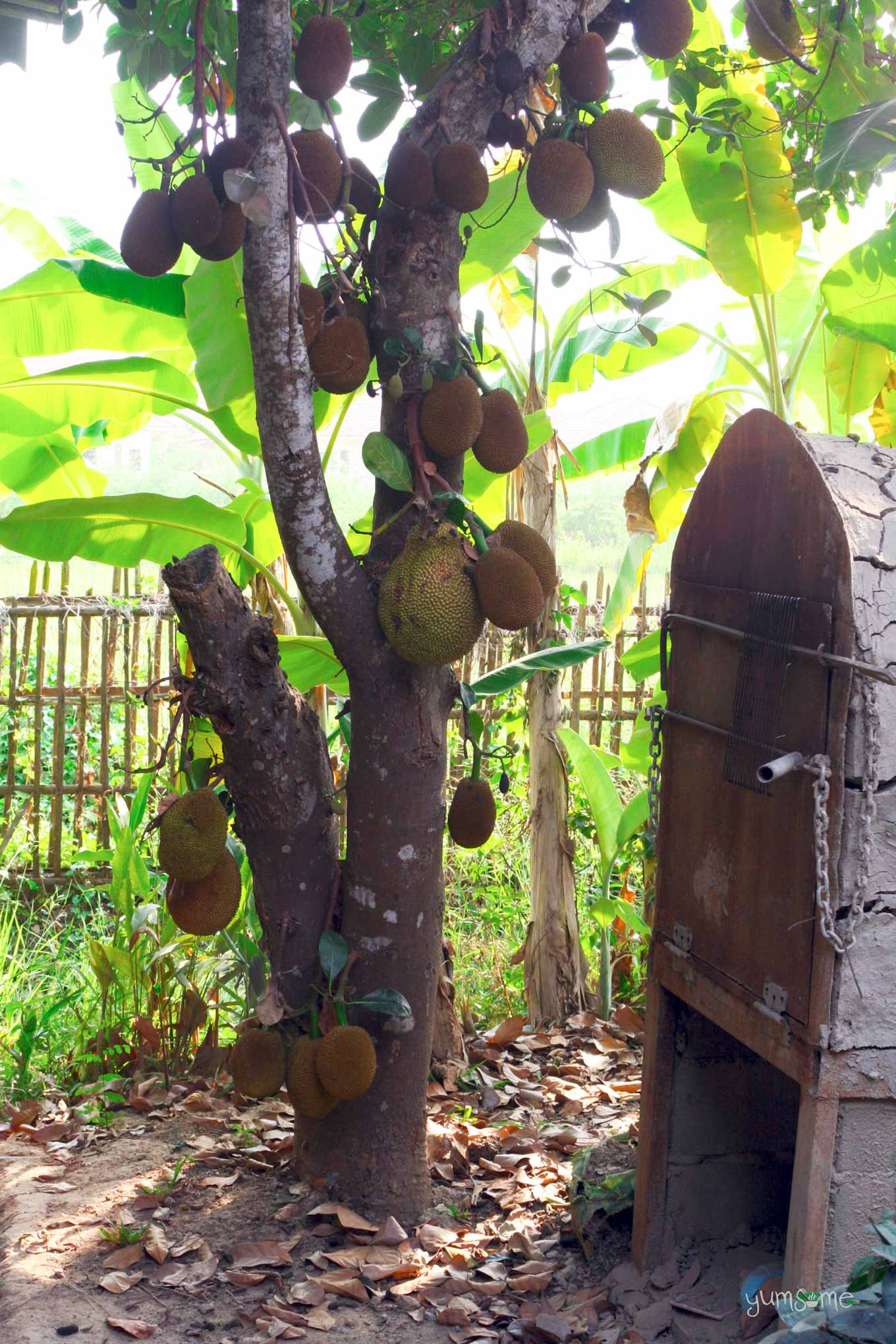 jackfruit tree in Doi Saket, Thailand | yumsome.com