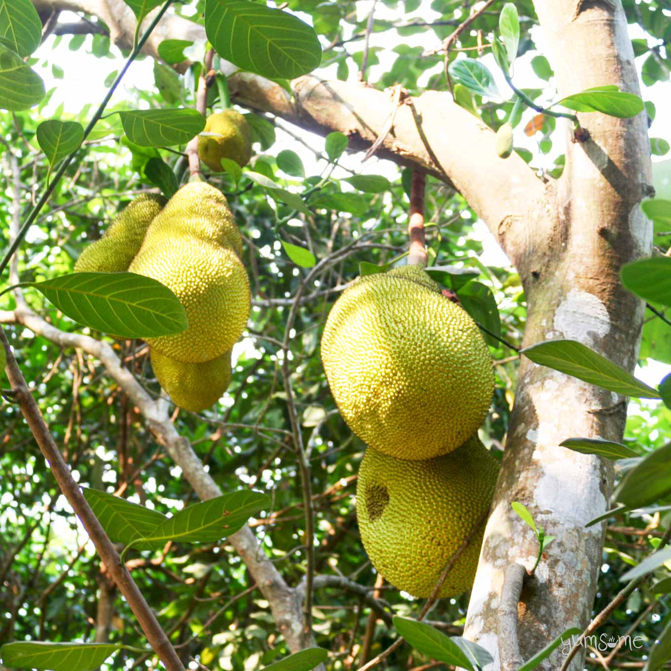 Close-up of jackfruit growing on a tree in Doi Saket, Thailand | yumsome.com