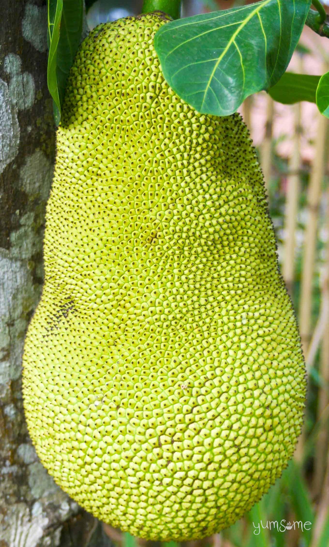 jackfruit in Doi Saket, Thailand | yumsome.com