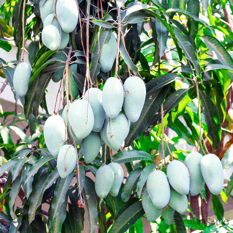 green unripe mangoes in an mango tree | yumsome.com
