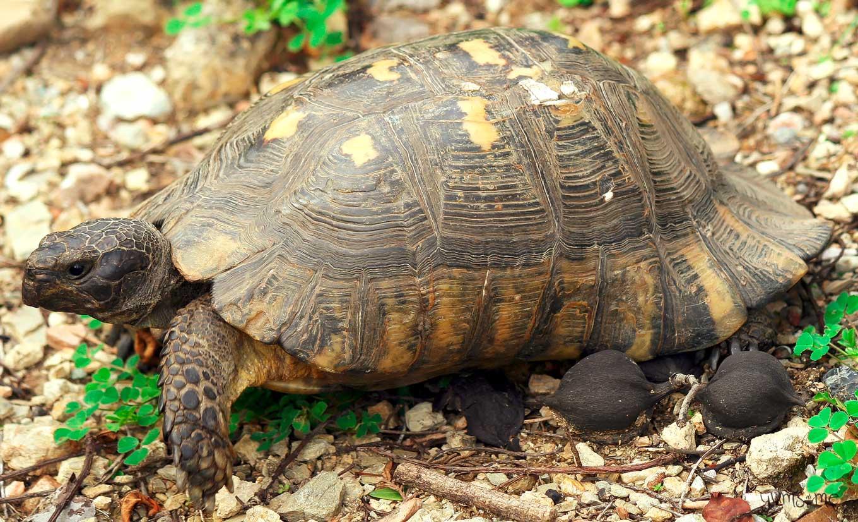 a big Athenian tortoise! | yumsome.com
