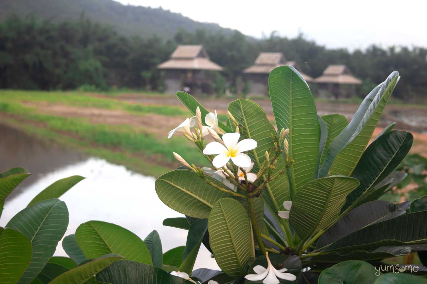 Frangipani tree with a white and yellow flower, and wooden Thai houses in the distance.