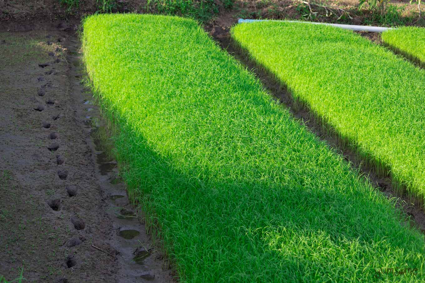A verdant rice field with deep footprints in the mud along the side.