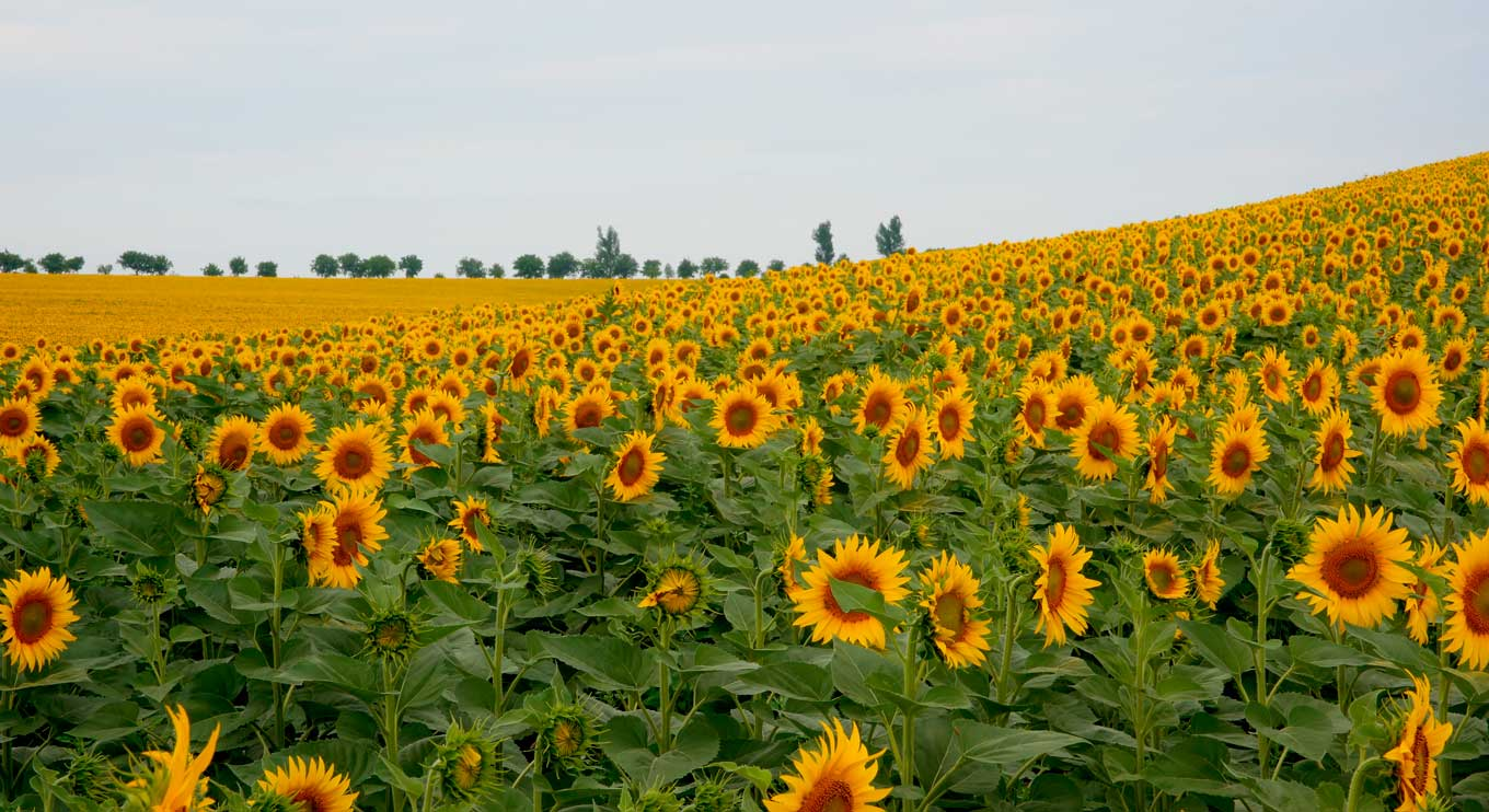A huge field of glorious sunflowers!